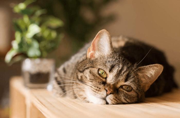 как помочь коту при отравлении