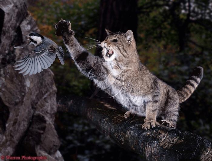 европейский дикий лесной кот