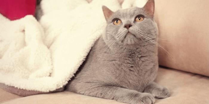 британский кот под одеялом