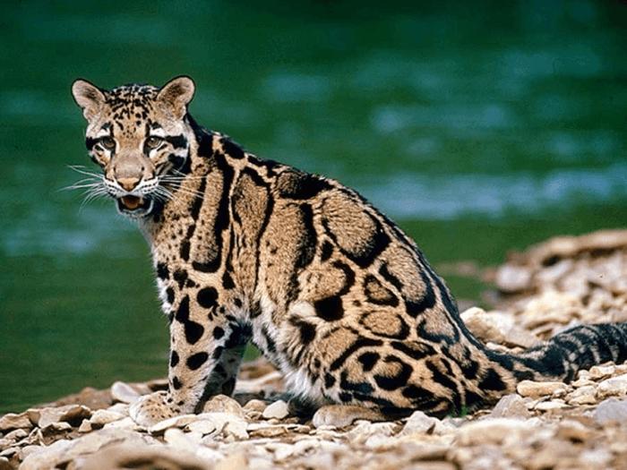 дикая леопардовая кошка