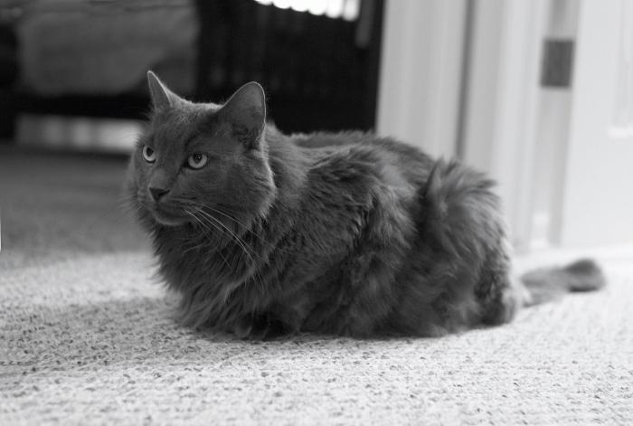 порода кошек нибелунг фото