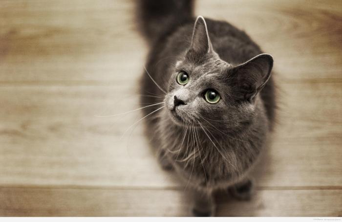 котенок нибелунга фото
