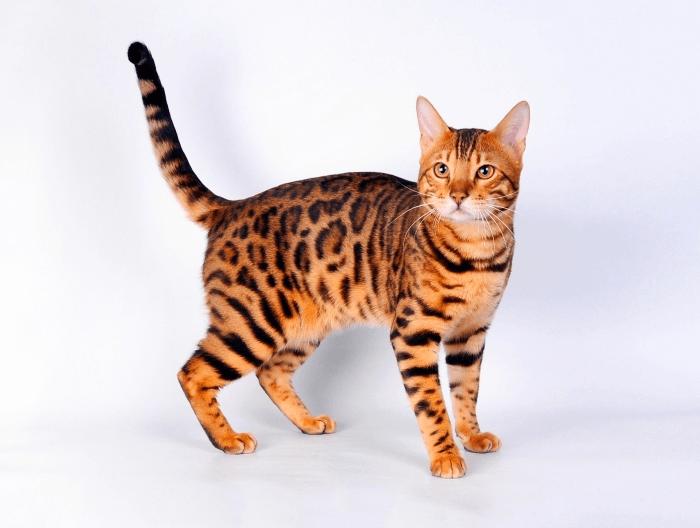 порода кошек как леопард
