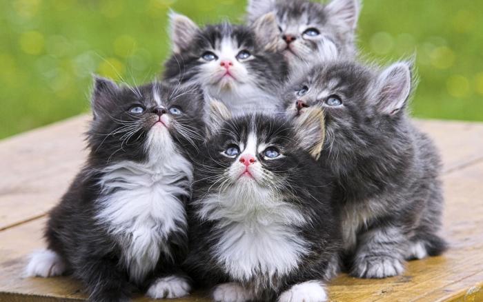 котята рагамаффин