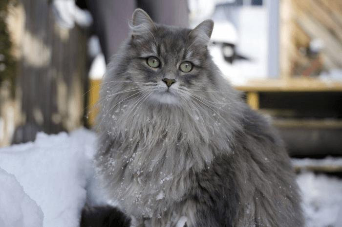 сибирская голубая кошка фото
