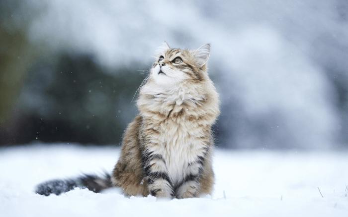сибирская порода фото