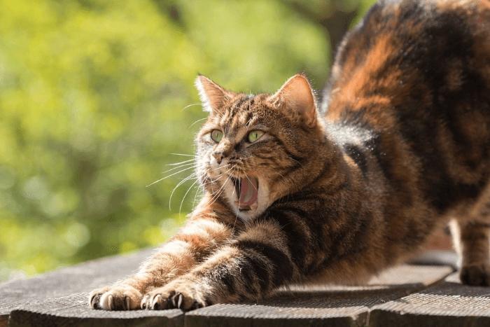 кошка потягивается и зевает