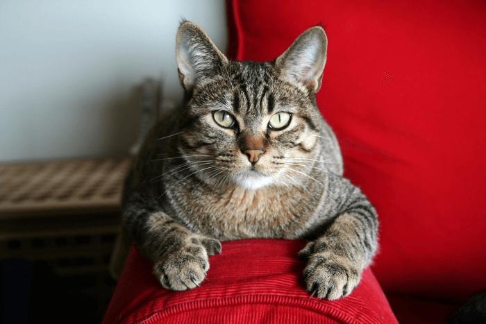 кастрация взрослого кота