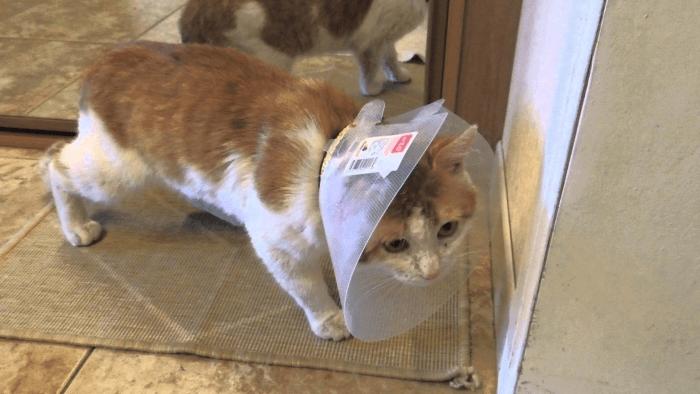 защитный воротник для кошки