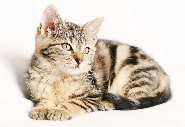что делает хвост у кошки