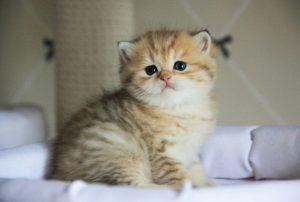 корм для британцев котят