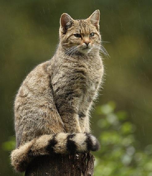 европейская лесная кошка. внешний вид