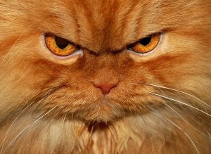 Агрессия у кошки